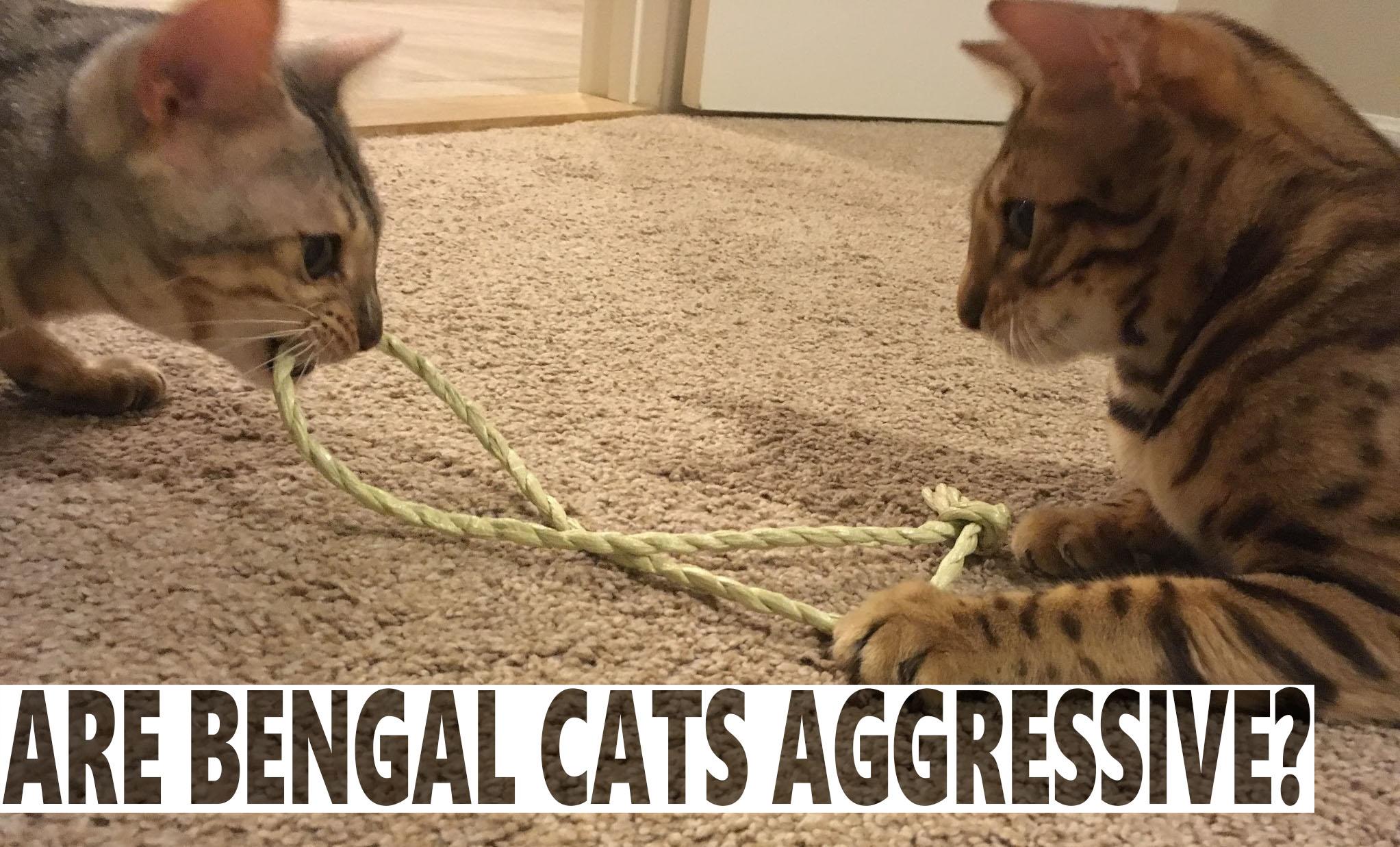 Are Bengal Cats Aggressive Blindbengal