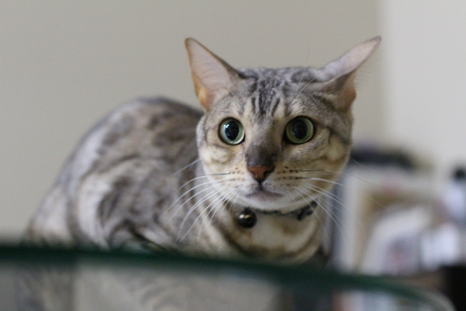 Why Bengal Cats? - BlindBengal