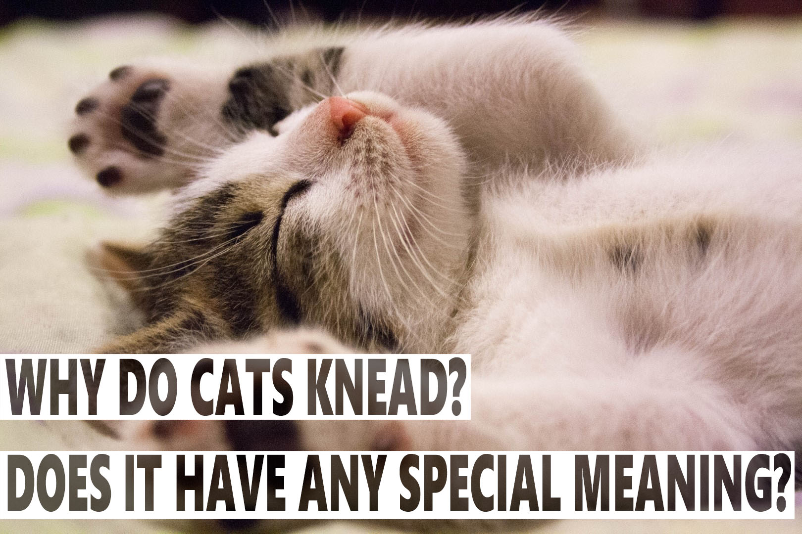 Why Do Cats Knead? Does It Have Any Special Meaning