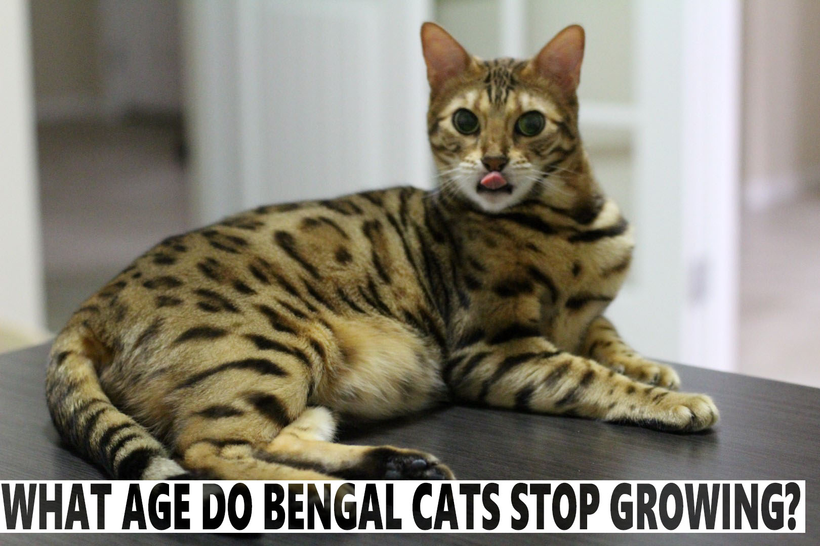 What Age Do Bengal Cats Stop Growing? - BlindBengal