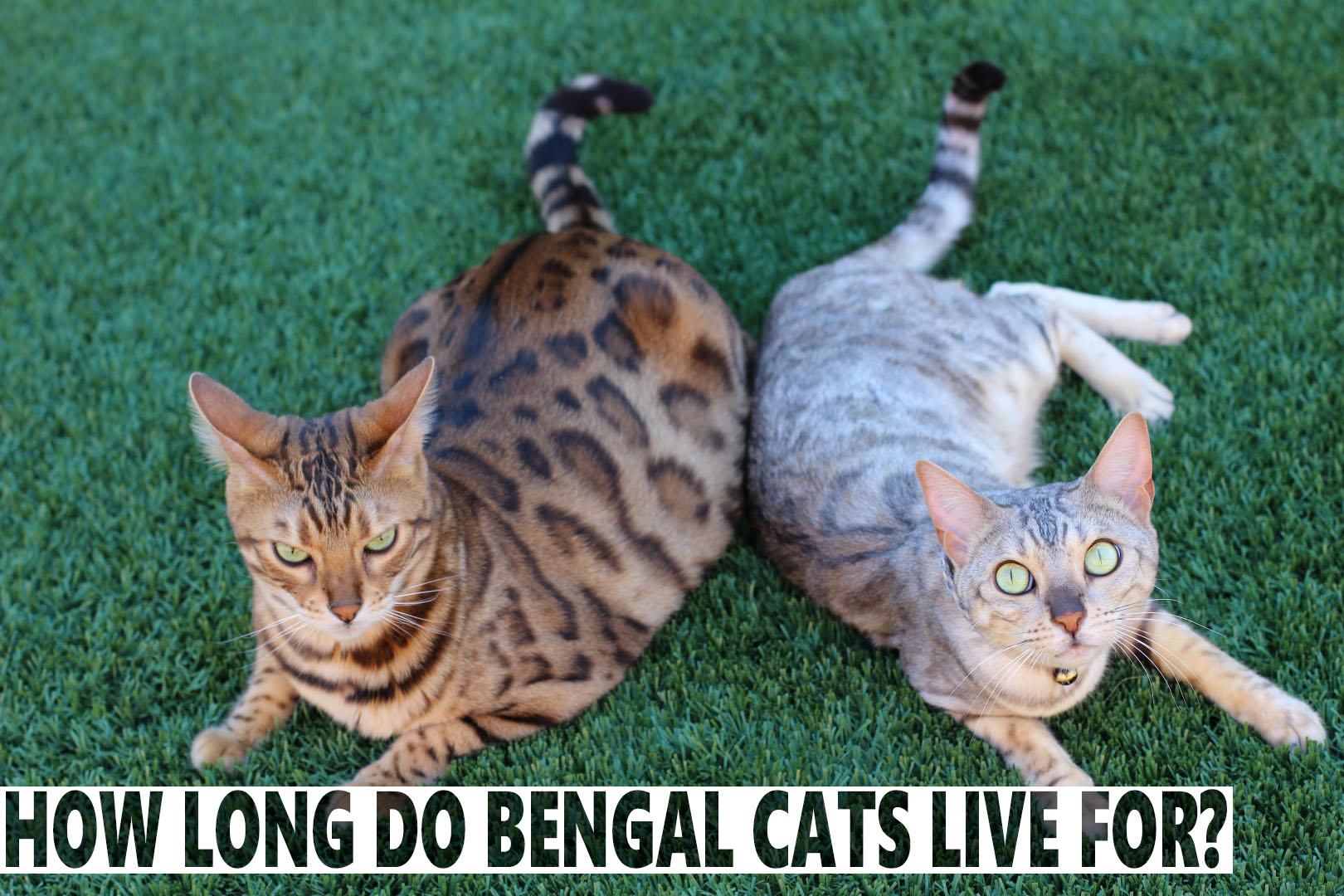 How Long Do Bengal Cats Live For? - BlindBengal