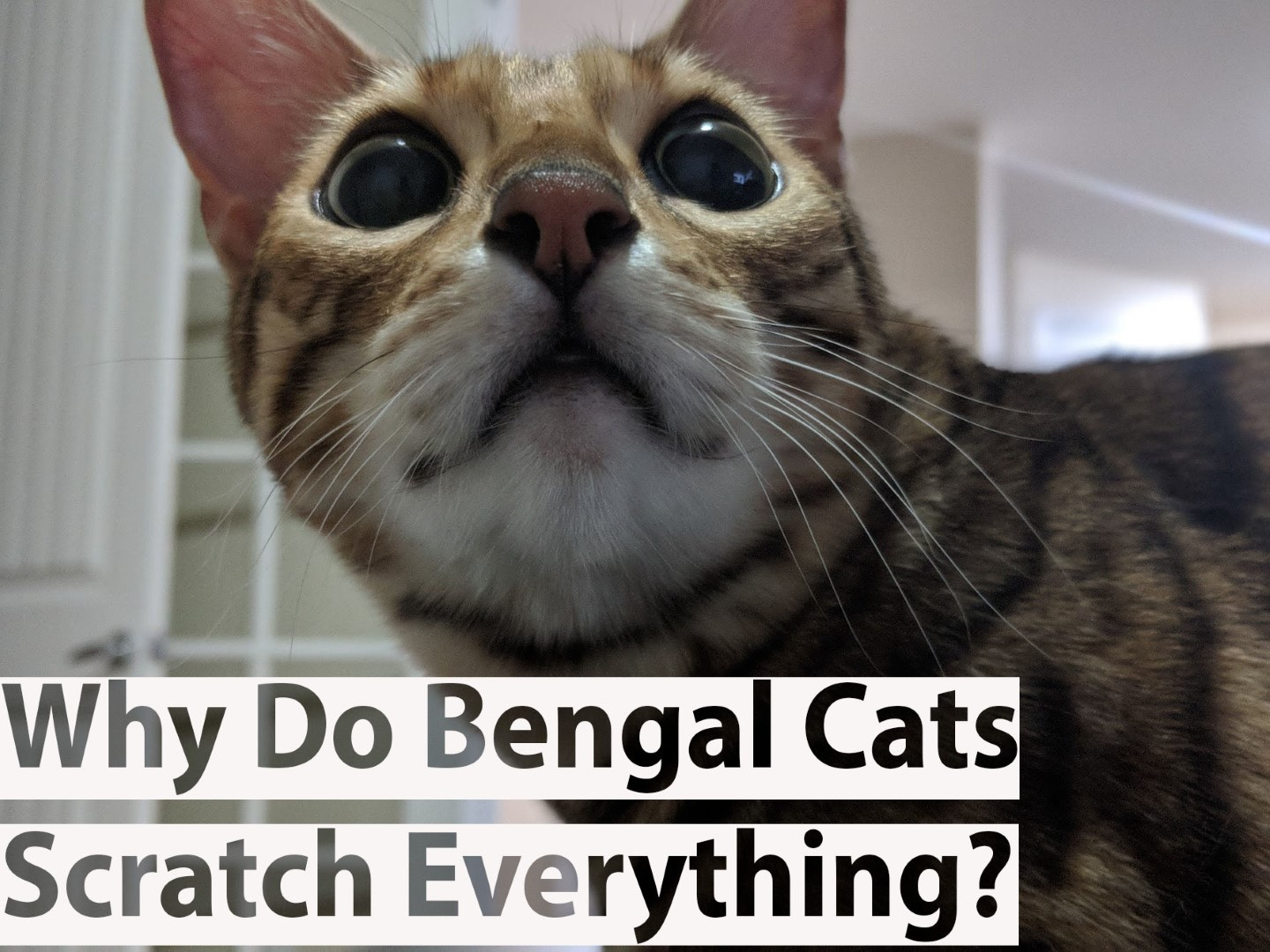 Why Do Bengal Cats Scratch Everything? - BlindBengal
